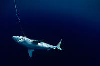 Live Oceanic Blacktip Shark, Carcharhinus limbatus, hooked on long line, Cocos Island, Costa Rica - Pacific Ocean