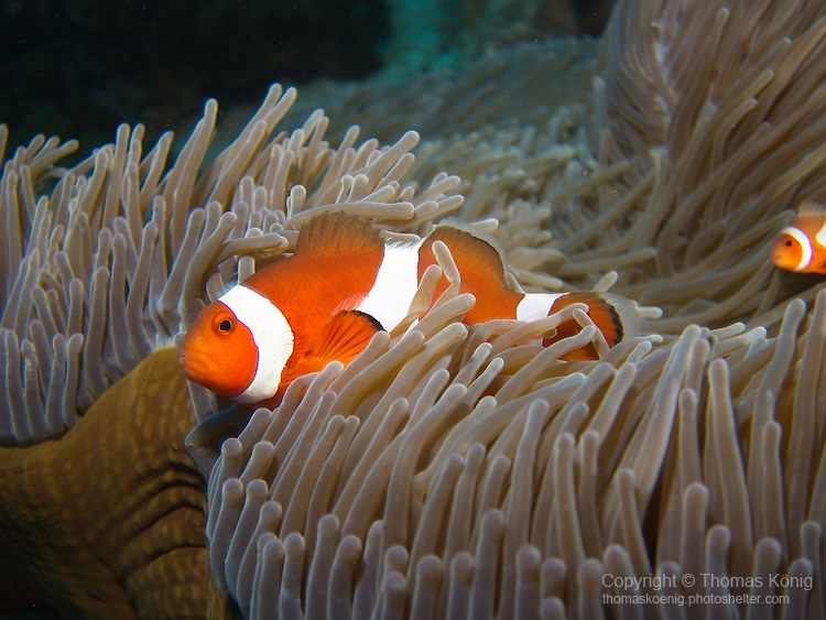 Shi Lang, Green island -- False clown anemonefish protecting their anemone.