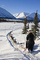 Aaron Burmeisters team mushes down embankment to Puntilla Lake outside Rainy Pass Chkpt 2006 Iditarod AK