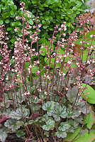 Heuchera 'Petite Marbled Burgundy' in pink flowers with green foliage and purple undersides of leaves