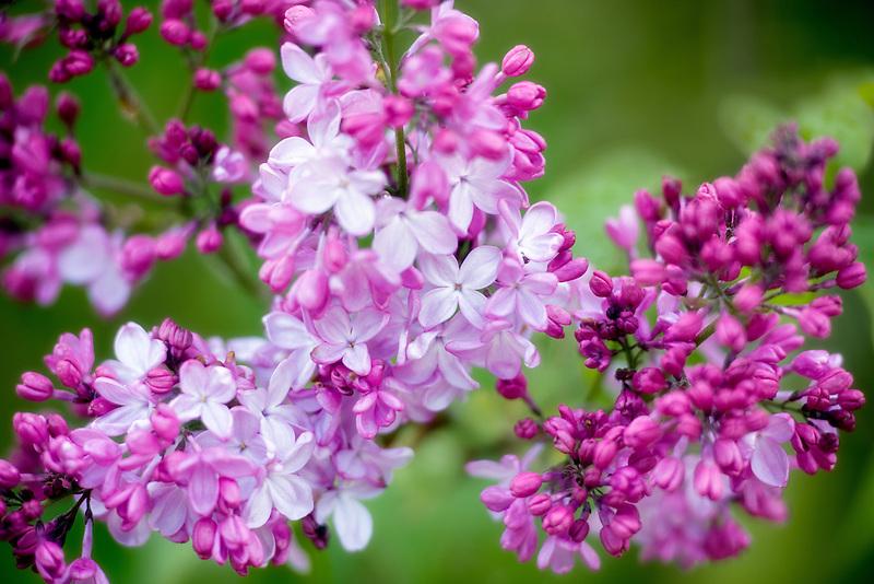 Pink Elizabeth Lilac. Cherry Blossoms. Hulda Klager Lilac Gardens, Woodland, Washington