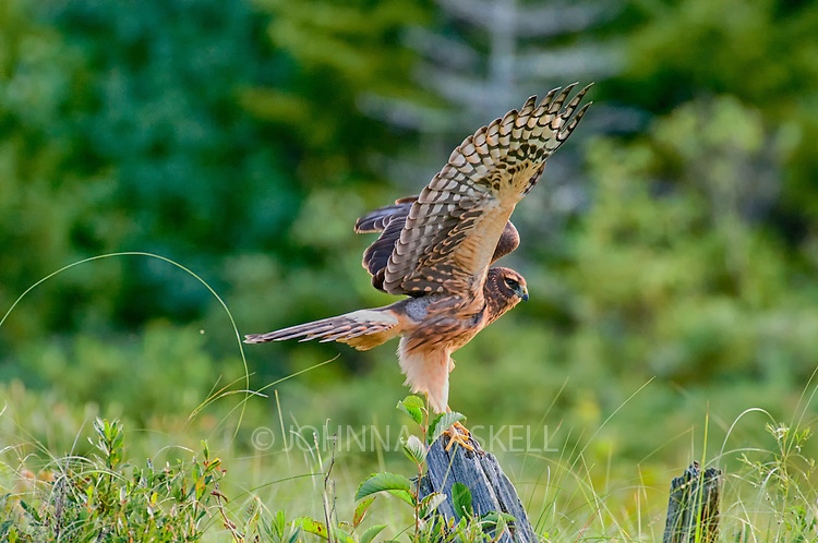 A marsh hawk fishing from a perch on a log is stretching it's wings.