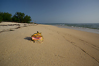 Queen Conch shell on Anclitas Island, Jardines de la Reina, Cuba