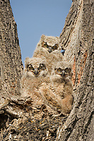 Young Great Horned Owlets (Bubo virginianus) watch from the crotch of a tree.  Oregon, spring.