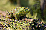 Bullfrog (Rana catesbeiana), covered with duckweed, sitting on log, New York, USA