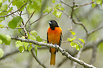 Baltimore Oriole (Icterus galbula) male perched among new leaves in spring, New York, USA
