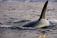 Adult male killer whale Orcinus orca surfacing to breathe at sunset. Tysfjord, Arctic Norway