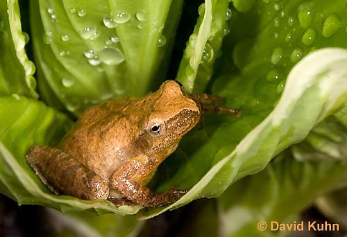 0302-0914  Spring Peeper Frog, Pseudacris crucifer (formerly: Hyla crucifer)  © David Kuhn/Dwight Kuhn Photography