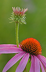 echinacea flower and bud