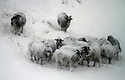 05/02/13 ..Sheep huddle in a blizzard near Buxton...All Rights Reserved - F Stop Press.  www.fstoppress.com. Tel: +44 (0)1335 300098.