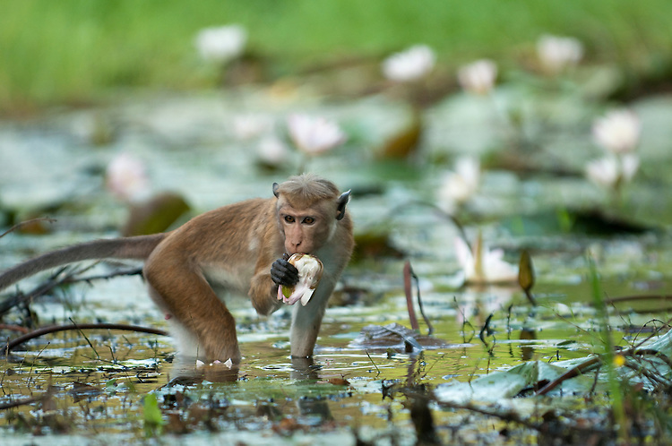 A toque macaque eats a water lilly bud. These are a popular and valuable food source for the monkeys who lift water lilly pads to check for these buds. Archaeological reserve, Polonnaruwa, Sri Lanka. IUCN Red List Classification: Endangered
