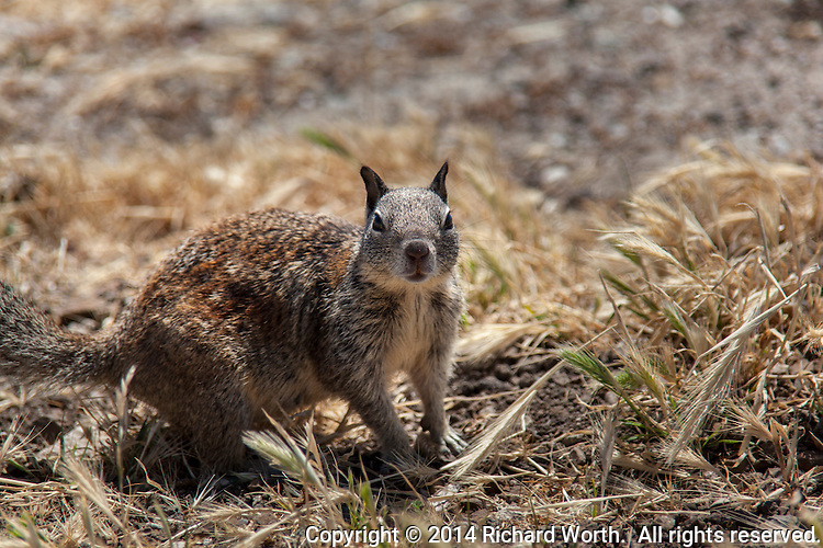 A California ground squirrel stops to stare at a passerby along the San Francisco Bay Trail.