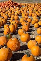 United States of America, California, Santa Barbara County, Solvang at Santa Ynez Valley: Pumpkins | Vereinigte Staaten von Amerika, Kalifornien, Santa Barbara County, Solvang im Santa Ynez Valley: Kuerbisse