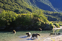 A photo of a coastal Katmai Grizzlies eating salmon in a pool of water. Grizzly Bear or brown bear alaska Alaska Brown bears also known as Costal Grizzlies or grizzly bears