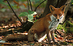 Red Fox ( Vulpes vulpes) Bleans Woods, Kent sitting in late afternoon sunlight.United Kingdom....