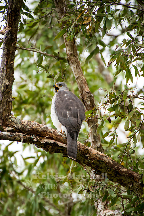 Grey goshawk (Accipiter novaehollandiae) the white morph of which is known as the white goshawk, is a strongly built, medium-sized bird of prey in the family Accipitridae.