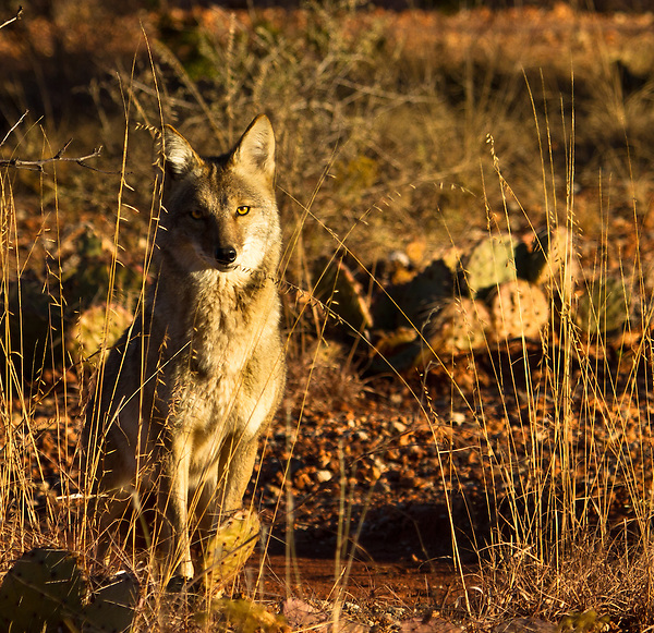 A split second is all I had to capture this image. Coyote's are wise and quick to read the situation and they leave nothing to chance.