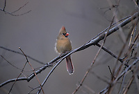 Northern Cardinal, Cardinalis cardinalis, female, backlit