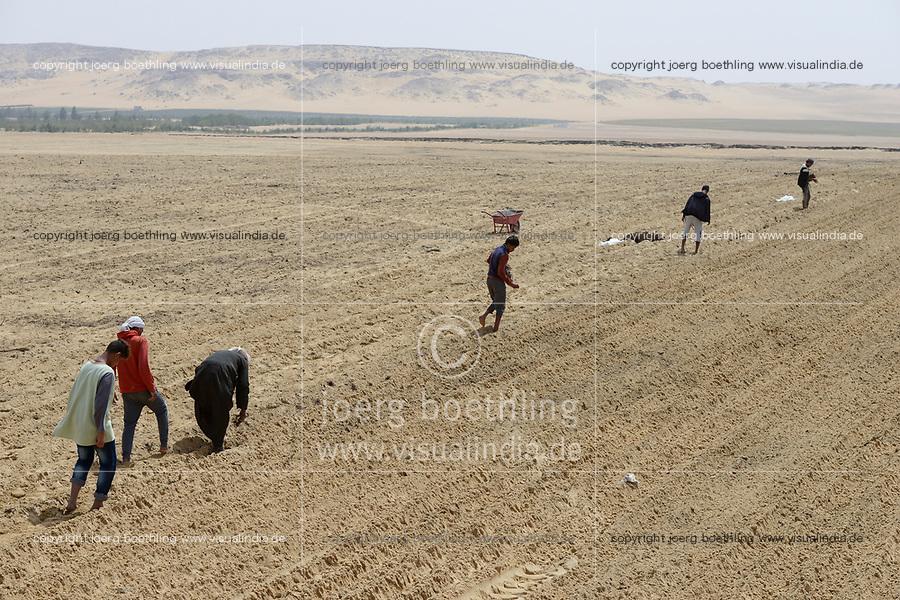 EGYPT, Bahariyya Oasis, Sekem organic farm, Project greening the desert , Pivot irrigation for a new field / AEGYPTEN, Oase Bahariya, Sekem Biofarm, Landwirtschaft in der Wueste, Pivot Kreisbewaesserung fuer eine neues Feld, Aussaat von Kraeuter Stecklingen