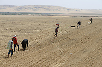 EGYPT, Bahariyya Oasis, Sekem organic farm, Project greening the desert , Pivot irrigation for a new field, planting mint seedlings / AEGYPTEN, Oase Bahariya, Sekem Biofarm, Landwirtschaft in der Wueste, Pivot Kreisbewaesserung fuer eine neues Feld, Aussaat von Minze Stecklingen