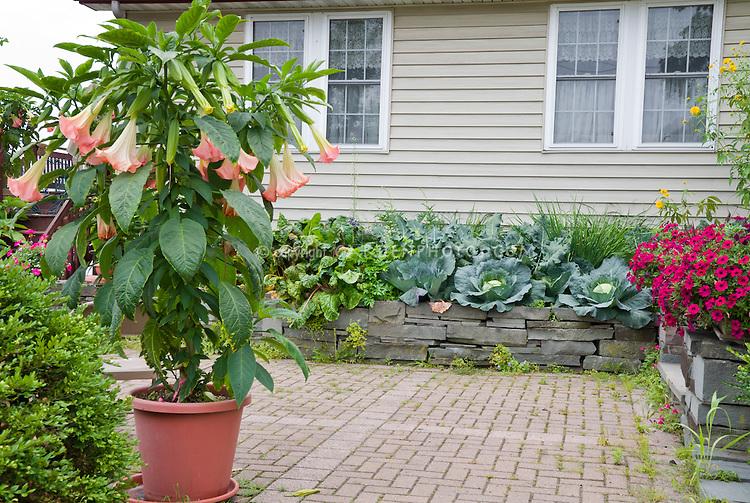 'Ecuador Pink' Brugmansia in container garden pot, brick walkway path patio, Buxus, house, vegetable cabbages,petunias, brick patio, raised beds