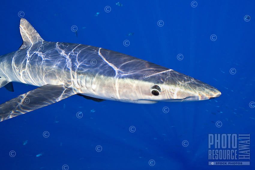 A large female blue shark (Prionace glauca), Big Island.