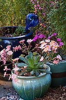 Lewisia, California native plant flowering in blue pot in Sibley drought tolerant back yard garden, Richmond California
