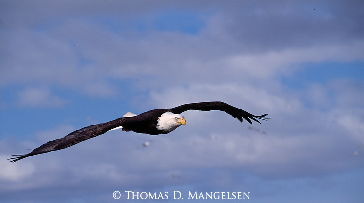 Portrait of a bald eagle in flight in Wyoming.
