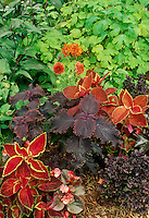 Color coordinated garden with muliple orange and brown coleus, Solenostemon, and oxalis plants in summer garden, Missouri USA