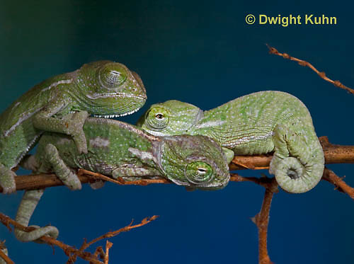 CH47-567z  Veiled Chameleon several week old young, Chamaeleo calyptratus