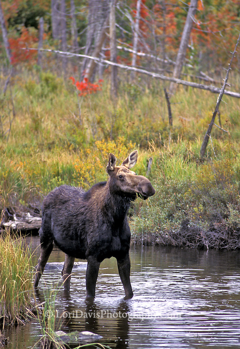 #M13 Cow Moose in Autumn Stream