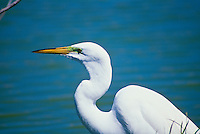 Great snowy egret with close up of breeding eye, Florida, USA