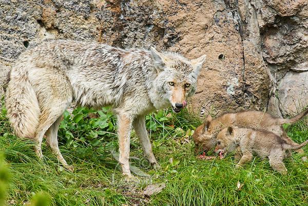 Wild Coyote (Canis latrans) mom has just regurgitated food for pups near den.  Western U.S., June.