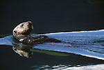 Sea otter, Glacier Bay National Park, Alaska