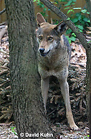 0503-0903  Critically Endangered Red Wolf, Canis rufus (syn. Canis niger)  © David Kuhn/Dwight Kuhn Photography