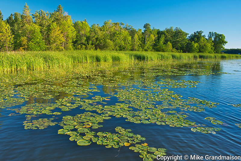 Water lilies on shore of Lake of the Woods<br />