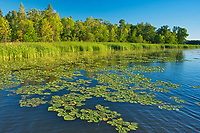 Water lilies on shore of Lake of the Woods<br />Morson<br />Ontario<br />Canada