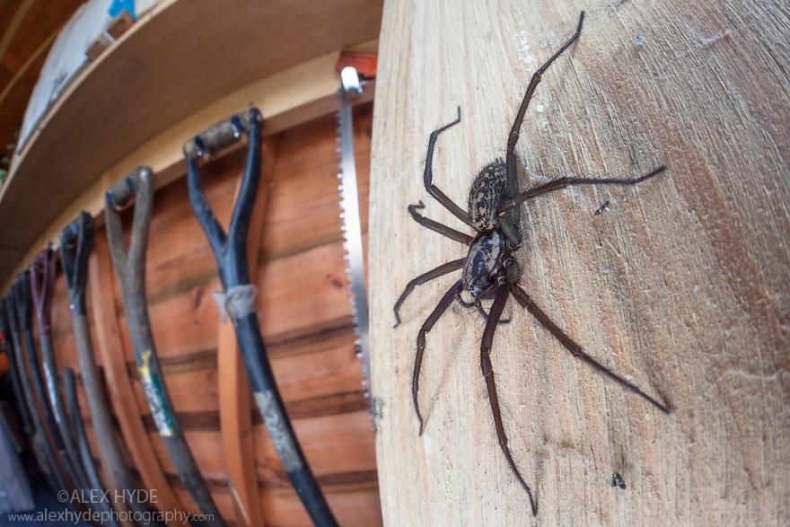 House Spider female {Tegenaria sp.} in garden shed. Derbyshire, UK, March.