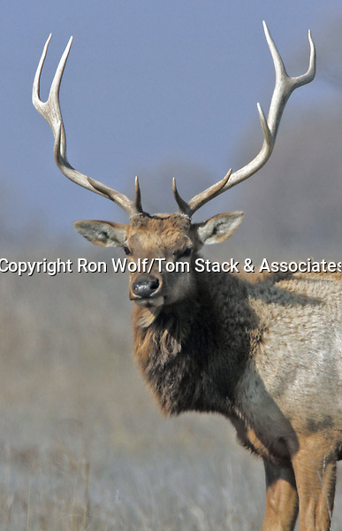 Tule Elk (Cervus canadensis ssp. nannodes). San Luis National Wildlife Refuge. Near Los Banos, Merced Co., Calif.