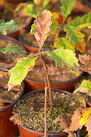Young plants in the nursery that have been seeded with truffles spores and that will be planted and produce truffles. Young oak plants Truffiere de la Bergerie (Truffière) truffles farm Ste Foy de Longas Dordogne France