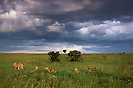 In Kenya's Masai Mara National Reserve, a pride of lions stirs in the waning light. As night falls, the lions will fan out over the surrounding plains, hunting in unison.