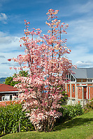 Pink Toon Tree, Cedrela Sinensis.  Rotorua, north island, New Zealand.   New leaves are pink in the spring, turning cream, then light green by summer.