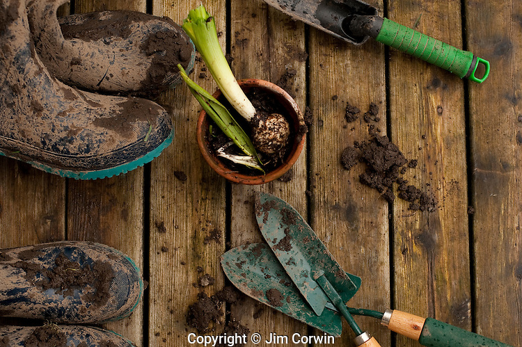 Muddy boots and gardening tools on back deck with flower pots with hyacinth bulb in pot after working in garden.