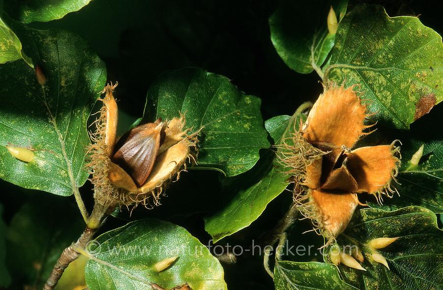 Buche, Rot-Buche, Rotbuche, Früchte, Bucheckern, Fagus sylvatica, Common Beech