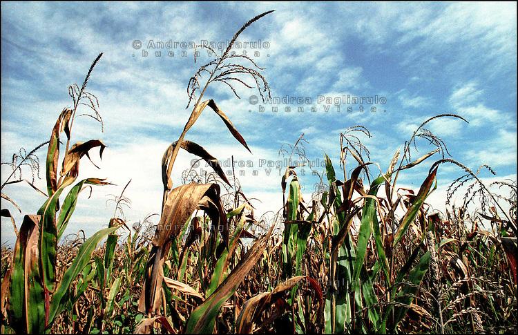 Italia, Mantova, campi geneticamente modificati.<br /> Italy, Mantua, field genetically modificated.