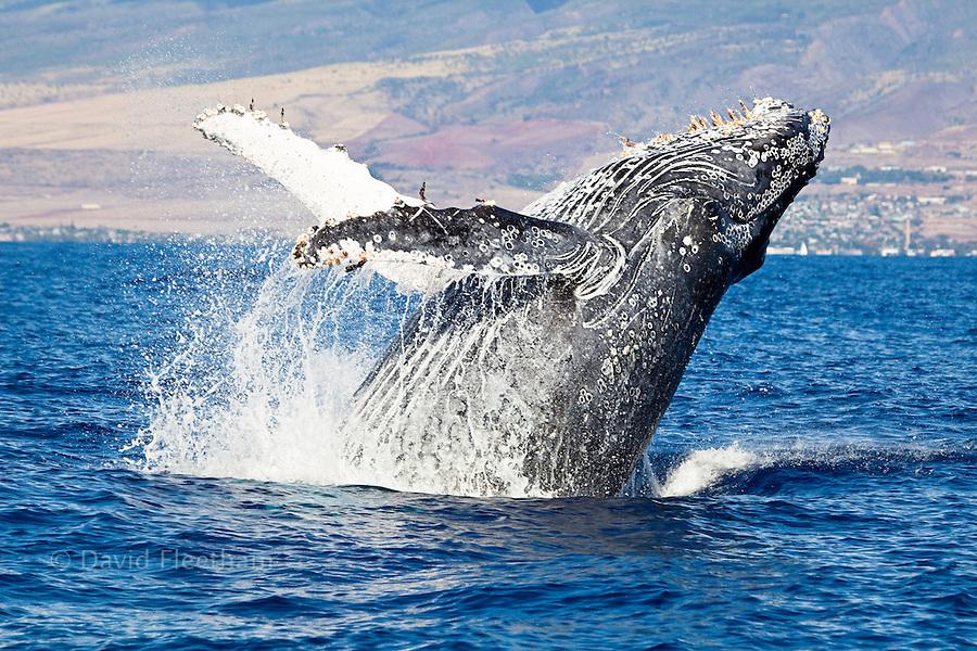 Breaching Humpback whale, Megaptera novaeangliae.  Hawaii.