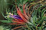 13697-AG Bromeliad, Tillandsia ionantha, epiphyte, flowers, at Sherman Oaks, CA