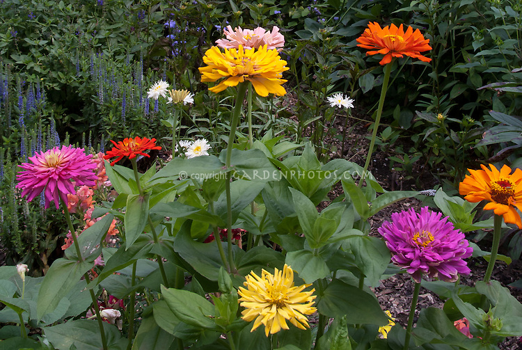 Zinnia Fireworks Mix, large double flowers in bright colors, annual blooms