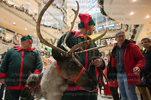 Reindeers walk in a mall promoting the charity of the Santa Factory as part of Hungary's Christmas celebrations in Budapest, Hungary on December 02, 2014. ATTILA VOLGYI