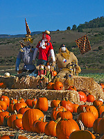 Scarecrows and Pumpkins on hay bales surrounded by pumpkins.  It is Halloween on the coast.